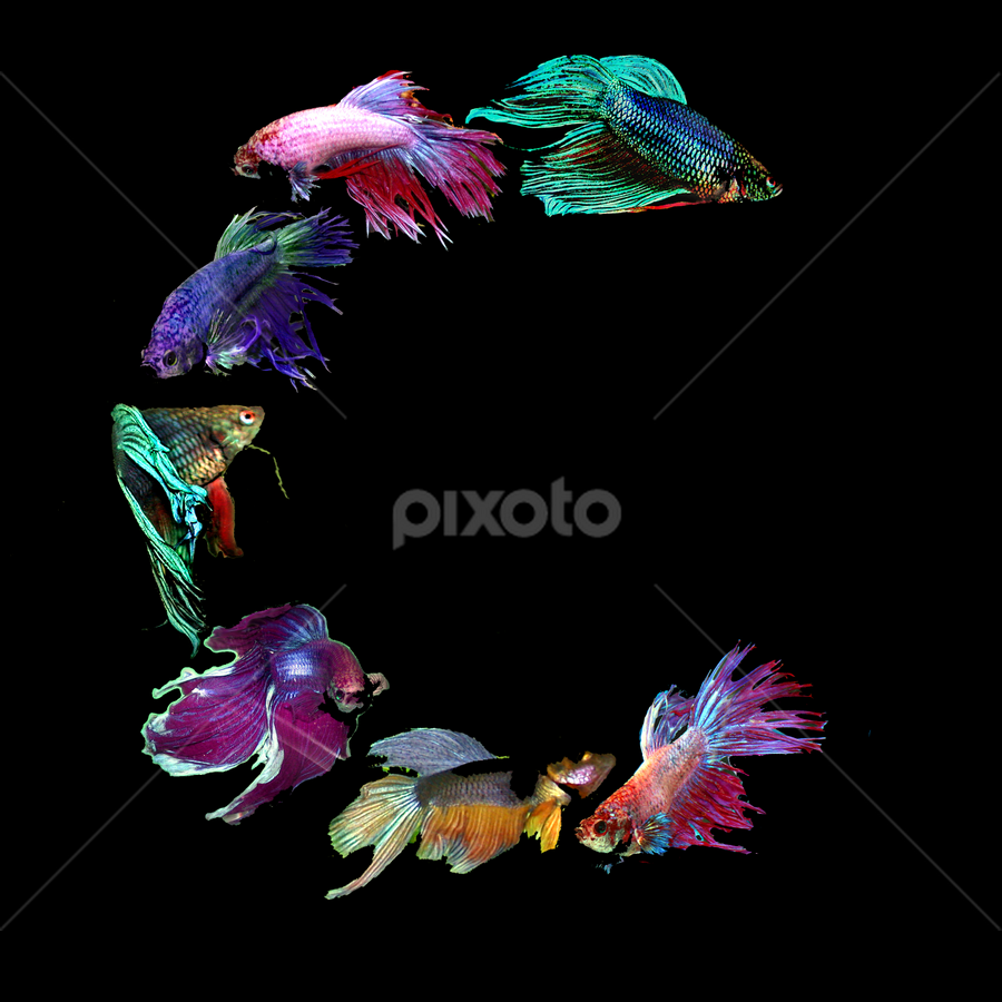 Fighting Fish C by Janna Morrison - Typography Words ( c )