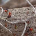 Wheel Bug Nymphs