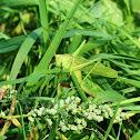 Great Green Bush-Cricket (female)