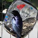 Shiny cowbird