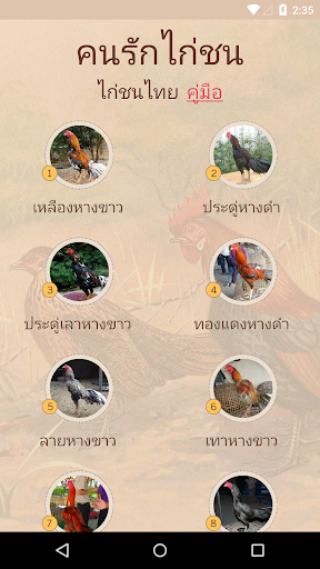 Thai Gamecock Thai Cockfight
