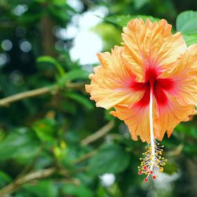 Bunga Raya by aRie Fitri - Flowers Flower Gardens ( bunga, national, malaysia, raya, flower )
