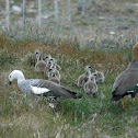 Magellan Goose