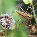 Spider and its nest hatching