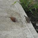 Ruddy-ground Dove