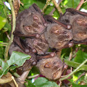 Short-tailed Fruit Bat