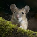 Cute Animals Wallpaper Mice