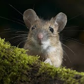 Cute Animals Wallpaper Mice