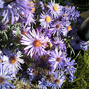 Bees polinating asters