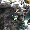 Cleaner Shrimp