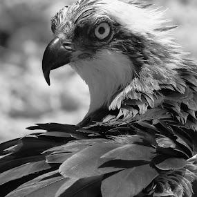 Ruffled Feathers by Sandra Blair - Black & White Animals ( bird, predator, fish hawk, raptor, osprey,  )