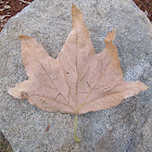 Large dead leaf