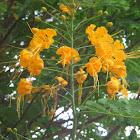 Flamboyanzinho, flor-de-pavão ou flamboyant-mirim