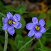 Blue-eyed Grasses