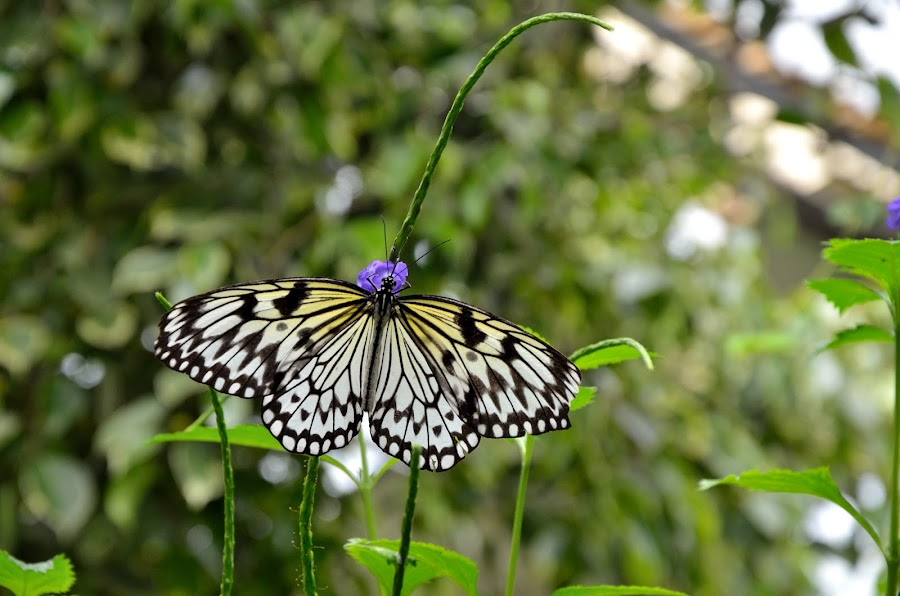 Butterfly by Veronica van Rensburg - Animals Insects & Spiders ( plant, butterfly, insect, flower )