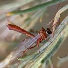 Ichneumon wasp (tiny)