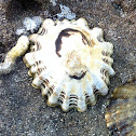 Ribbed limpet