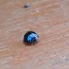 Blue Ladybeetle