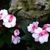 White & Pink Impatiens