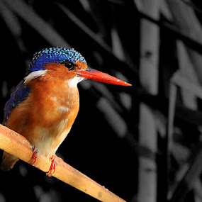 Kingfisher by David Knox-Whitehead - Animals Birds ( colour, bird, wing, colourful, kingfisher,  )