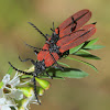 Long nosed Lycid beetle