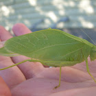 unknown katydid