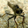 Brown Robber Fly