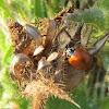 Western Blood-Red Lady Beetle