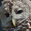 Barred Owl (female)