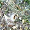 Cottonwood seeds