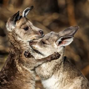 Kangaroo Hug by Glenys Lilley - Animals Other Mammals ( wild, joey, kangaroo, australia, , improving mood, moods, red, love, the mood factory, inspirational, passion, passionate, enthusiasm )