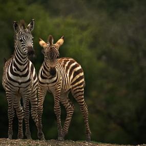 Young zebras by Cristobal Garciaferro Rubio - Animals Other ( strips, zebra, young, zebras )