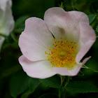 Dog Rose (Eglantier)