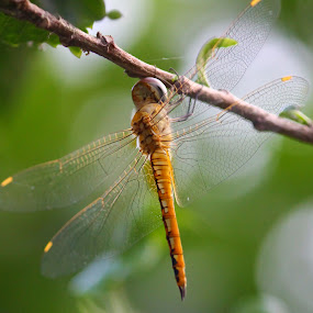 by Rajkumar Biswas - Animals Insects & Spiders ( insect, dragonfly )