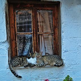 tete-a-tete by Berrin Aydın - Uncategorized All Uncategorized ( cats, window, house, flowers, curtain,  )