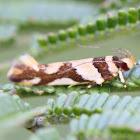 Concealer moth