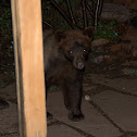 New Mexico black bear