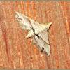 Hypenagonia Noctuid Moth