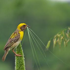 Nestig time by Kishan Meena - Animals Birds ( bird, nature, weaver, baya, wildlife, nesting time,  )