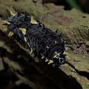 Parides Caterpillar