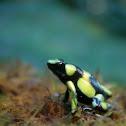 Cocoy frog