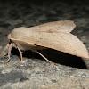 Geometrid Moth - ♂