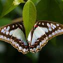 Pale Trangle Butterfly