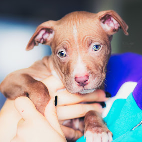 Cute puppy by Stoyan Katinov - Animals Other ( glamour, pet, beautiful, pets, puppy, dog, cute, katinov, portriat, eyes )