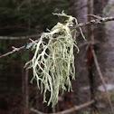 Flabby lichen