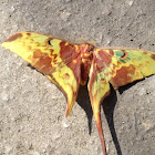 Indonesian moon moth