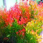 Syzygium oleana