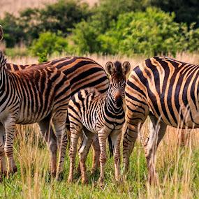 Posing Zebra by Hans-Erik Arp - Animals Other Mammals ( savannah, african, south africa, wildlife, zebra )