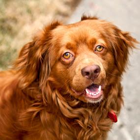 Rusty by Joe Eddy - Animals - Dogs Portraits ( bird, duck, cute, dog, rust )