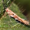 Florida Pink Scavenger Moth